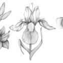 fleurs-aline-gradelet-weclewicz